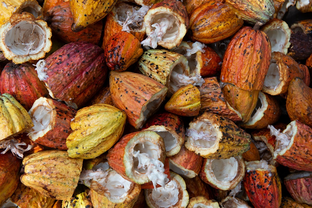 chocolate trend sustainable cocoa fruit